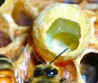 Пчелиное маточное молочко: состав, лечебные свойства, как принимать
