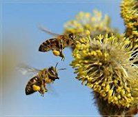 Цветочная пыльца: польза и применение