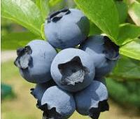 Голубика: полезные свойства и противопоказания.