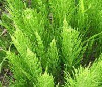 Хвощ полевой - лечебные свойства и противопоказания