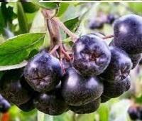Черноплодная рябина (арония): состав, заготовка, рецепты, лечебные свойства и противопоказания