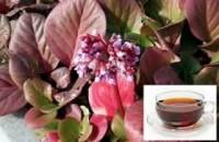 бадан+чай