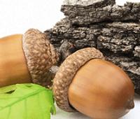 Кора дуба: сбор, применение, рецепты, полезные и лечебные свойства