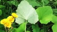 листья мать и мачехи
