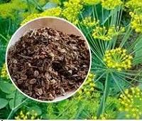 Семена укропа: состав, применение, рецепты, лечебные свойства и противопоказания