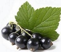 Листья смородины: лечебные свойства и противопоказания