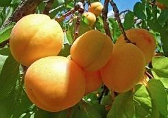 абрикосы3