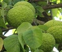 Адамово яблоко (маклюра): рецепты, лечебные свойства и применение в народной медицине