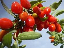 ягоды годжи свежие