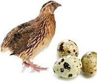 Перепелиные яйца: состав, калории, польза и вред для мужчин, женщин и детей