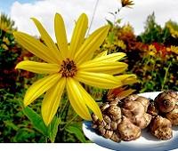 Топинамбур (земляная груша): состав, калорийность, польза и вред для организма человека