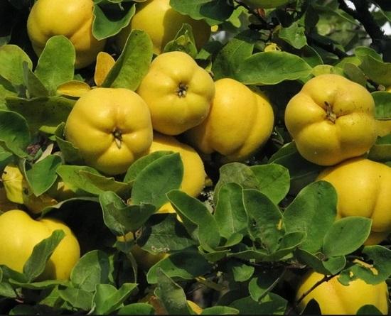 Айва фрукт полезные свойства и противопоказания, что это за фрукт