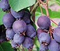 Ирга: заготовка, рецепты, полезные свойства и противопоказания для здоровья и красоты