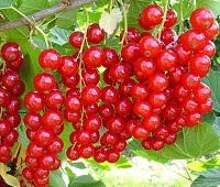 Смородина красная: состав, калорийность, польза и вред для здоровья и красоты