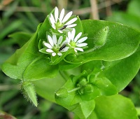 Трава мокрица (звездчатка): состав, лечебные свойства, применение для здоровья и красоты