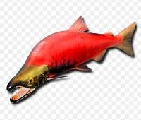 Нерка: что за рыба, где водится, состав, калорийность, описание, полезные свойства
