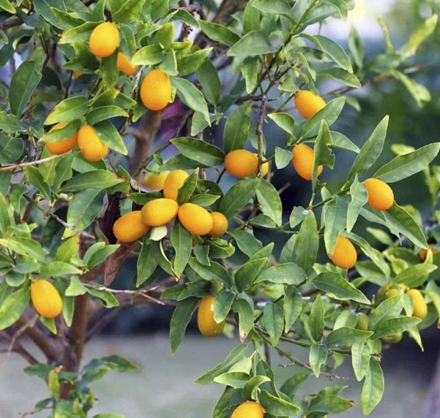 Маленький цитрусовый фрукт кумкват
