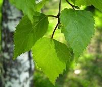 Листья березы: лечебные свойства, применение, сбор, состав и противопоказания