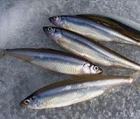 Корюшка: что за рыба, где водится, фото, описание, польза, как приготовить