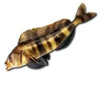 Терпуг: что за рыба, где водится, фото, описание, как приготовить, польза