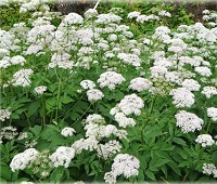 Трава сныть: полезные и лечебные свойства, применение, рецепты и противопоказания