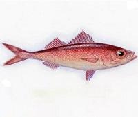 Красноглазка: что за рыба, где водится, фото, описание, польза, как приготовить