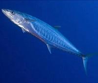 Макрель: что за рыба, где водится, описание, фото, польза, как выбрать и как приготовить