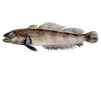 Нототения: что за рыба, где водится, описание, фото, польза, как приготовить