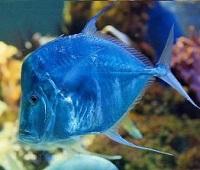 Вомер: что за рыба, где водится, описание, фото, как приготовить, польза и вред