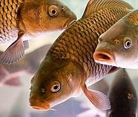 Карп: что за рыба, где водится, описание, фото, польза, как приготовить и вред
