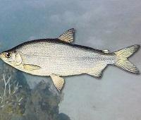 Пелядь (сырок): что за рыба, где водится, описание, фото, польза, как приготовить